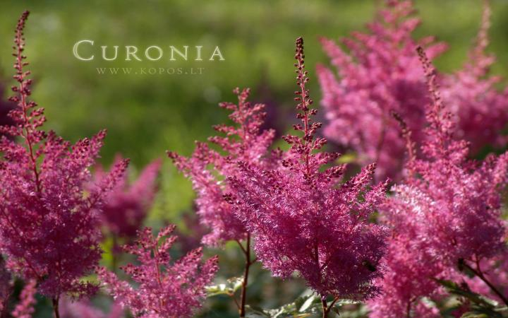 Curonia colors - Magenta