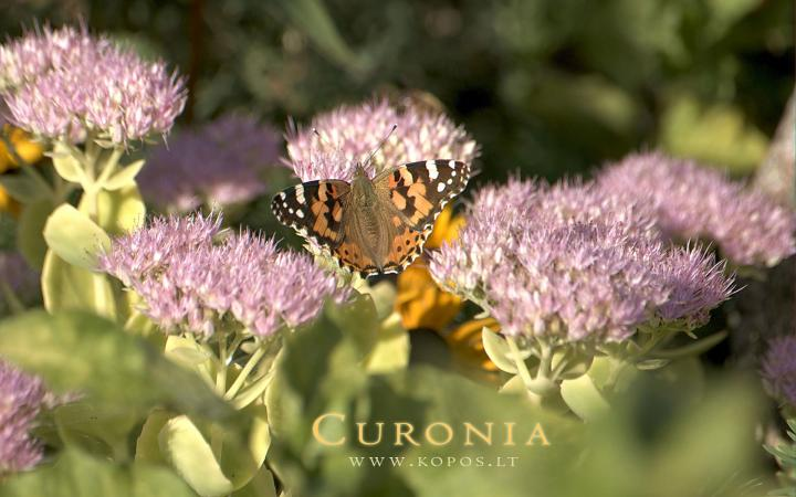 Curonia colors - Butterfly